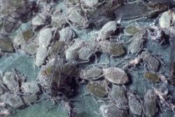Вредители овощных культур - Тля капустная (<i>Brevicoryne brassicae</i>)