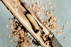 Вредители плодовых культур - Личинка Древесницы въедливой