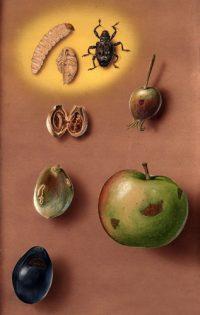 Вредители плодовых культур - Плоды, поврежденные плодовым</p> долгоносиком (Conotrachelm nenuphar)
