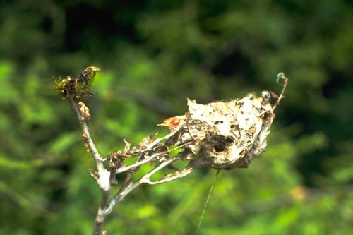 Вредители плодовых культур - Паутинное гнездо златогузки</p> (<i>Euproctis chrysorrhoea</i>)