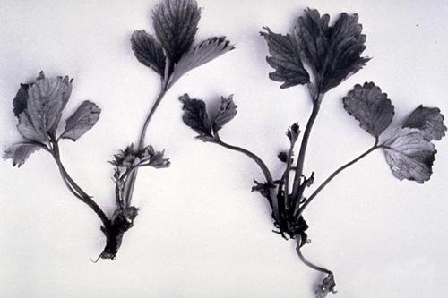 Вредители ягодных культур - Повреждение клубники