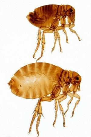 Вредители человека - Человеческая блоха</p> (Pulex irritans)