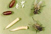 Вредители человека - Домашняя муха (Musca domestica).