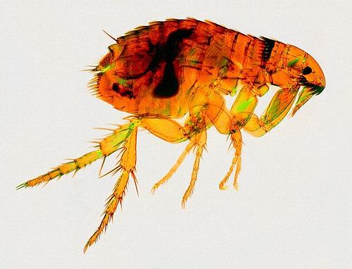 Вредители животных - Блоха кошачья<p> (Ctenocephalides felis)