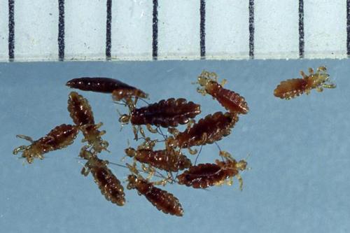 Бытовые насекомые и клещи - Вошь головная</p> (Pediculus humanus capitis)