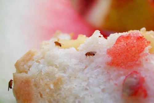 Бытовые насекомые и клещи - Дрозофила фруктовая </p>(Drosophila melanogaster)