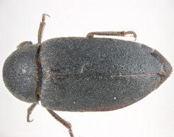 Бытовые насекомые и клещи - Кожеед фриша</p> (Dermestes frischi)