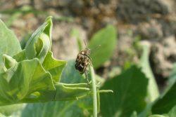 Вредители зерновых бобовых культур - Зерновка гороховая </p> (Bruchus pisorum)