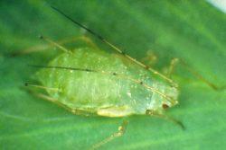 Вредители зерновых бобовых культур - Тля гороховая</p> (Acyrthosiphon pisum)