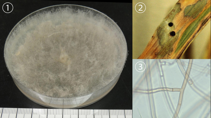 <i>Rhizoctonia solani</i> J.G. Kuhn - Rh. solani