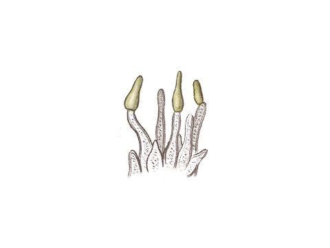 <i>Venturia inaegualis</i> - Конидии