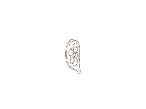 <i>Blumeria graminis</i> (DC.) Speer<i> f. sp. tritici </i>March - Сумка и аскоспоры