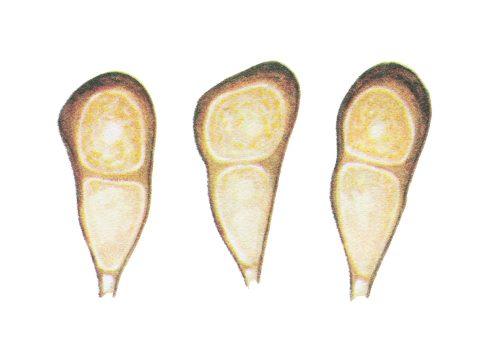<i>Puccinia recondita</i> Rob. ex Desm <i>f. sp. tritici</i> - Телейтоспоры