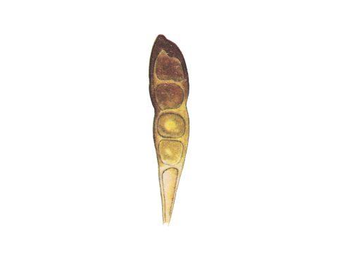 <i>Puccinia graminis</i> - Четырехклеточная телейтоспора