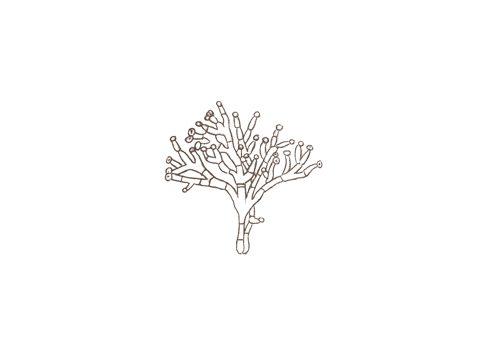 <i>Sclerotinia borealis</i> Bubak & Vleugel - Конидиеносцы с микроконидиями