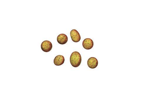 Устилягиновые - Ustilago nuda (C.N. Jensen) Rostr.