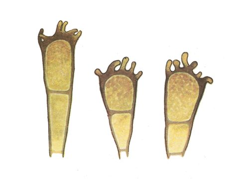 <i>Puccinia coronata</i> Corda. - Телейтоспоры