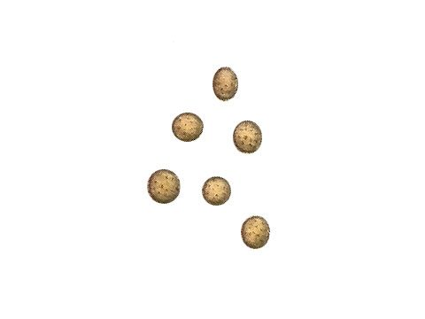 Устилягиновые - Ustilago avenae (Pers.) Rostr.