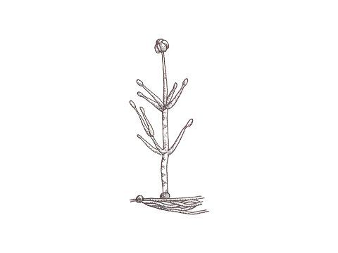 <i>Verticillium</i>