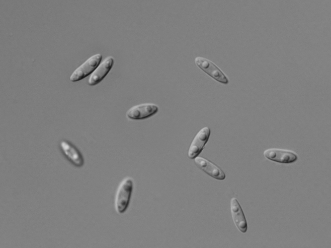 <i>Phomopsis</i> - Пикноспоры Phomopsis spp.