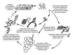 <i>Phomopsis</i> - Биологический цикл развития.