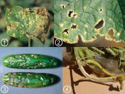 <i>Colletotrichum</i> - Симптомы антракноза на огурце