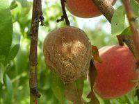 <i>Monilia</i> - Спороношение на персике