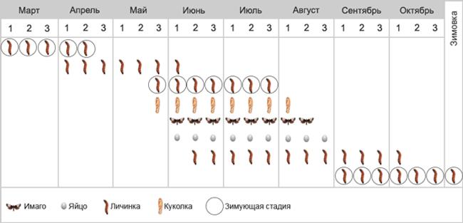 Листовертка (вертунья) почковая - Фенология