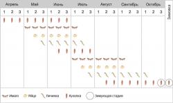 Совка капустная - Фенология
