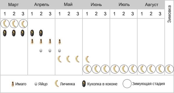 Пилильщик грушевый плодовый - Фенология