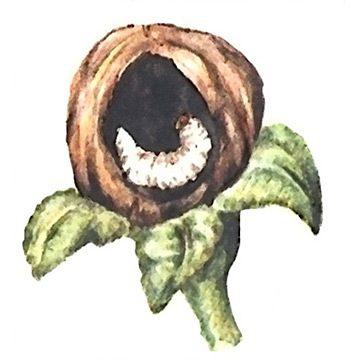 Цветоед яблонный - Личинка. Использовано изображение: