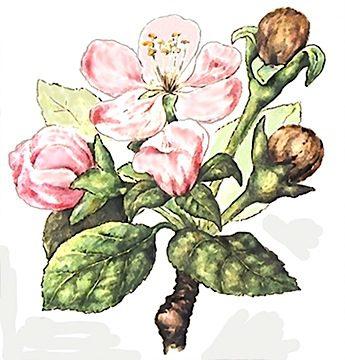 Цветоед яблонный - Повреждения. Использовано изображение: