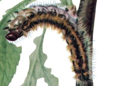 Боярышница - Гусеница. Использовано изображение:[12]