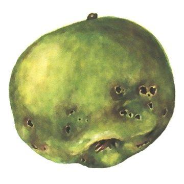 Казарка плодовая - Повреждения яблока. Использовано изображение: