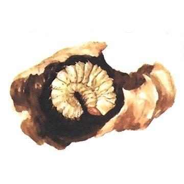 Трубковёрт виноградный (грушевый) - Личинка. Использовано изображение: