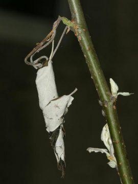 Трубковёрт виноградный (грушевый) - Поврежденные листья винограда. Использовано изображение:[11]