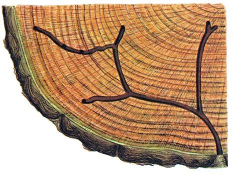 Короед западный непарный - Поврежденная древесина. Использовано изображение: