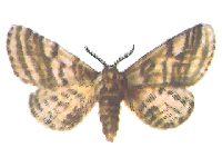 Пяденица-шелкопряд бурополосая
