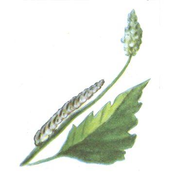Пяденица-шелкопряд бурополосая - Личинка. Использовано изображение:[11]