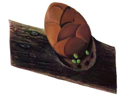Пяденица зимняя - Яйцо. Использовано изображение: