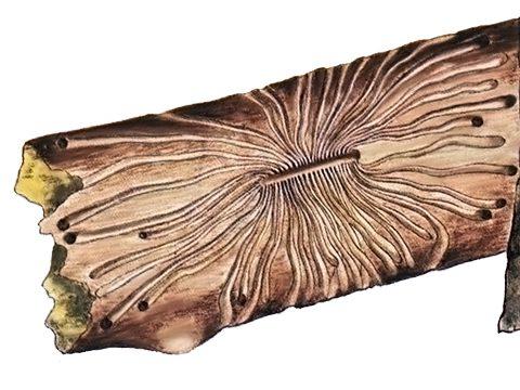Заболонник морщинистый - Повреждения. Использовано изображение:[10]