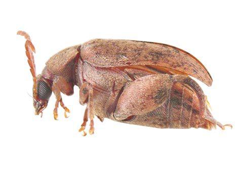 Зерновка арахисовая - Имаго, латерально. Использовано изображение:[10]