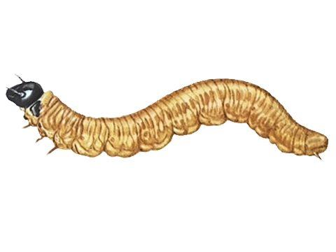 Пилильщик-ткач грушевый - Личинка. Использовано изображение:[10]