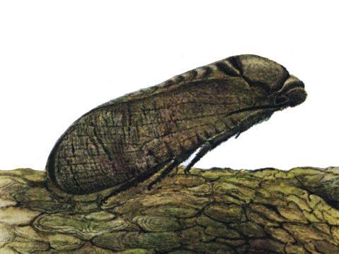 Древоточец пахучий - Имаго самка. Использовано изображение:[10]
