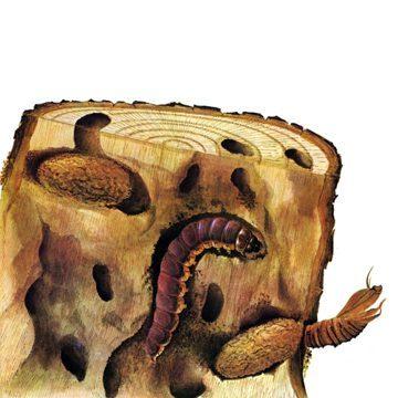 Древоточец пахучий - Личинка. Использовано изображение:[10]