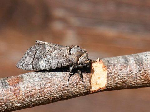 Древоточец пахучий - Имаго в среде обитания. Использовано изображение:[13]