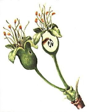 Пилильщик яблонный плодовый - Повреждение завязи личинкой. Использовано изображение:[10]