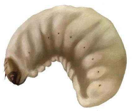 Долгоносик виковый плодовый - Личинка. Использовано изображение: