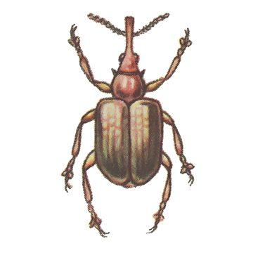 Долгоносик костянковый