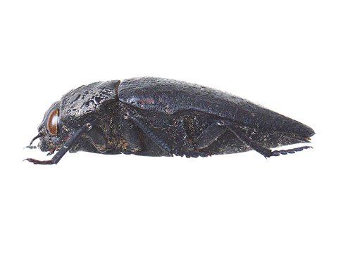 Златка чёрная - Имаго, латерально. Использовано изображение:[14]